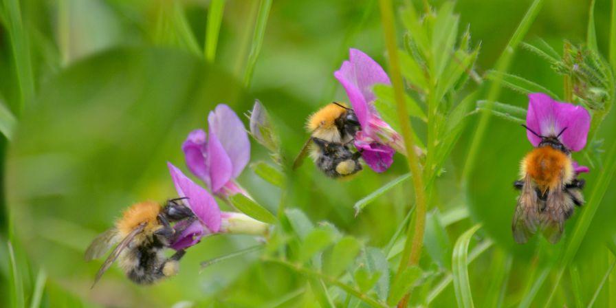 Bee on vetch (composite)