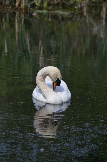 Swan at Lady Lee