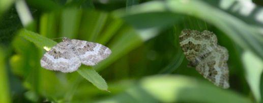 Tiny Moth (composite)