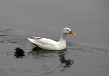 White duck and chick