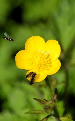 Mini bugs on a buttercup