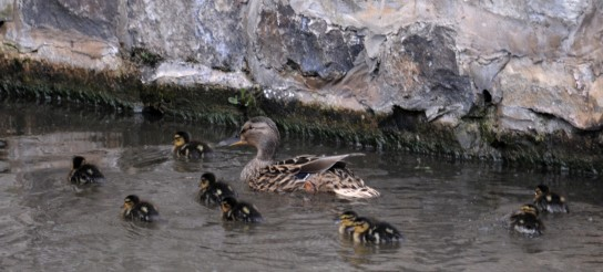 Omnipresent ducklings