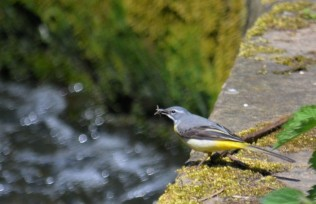 Gray wagtail with a fly