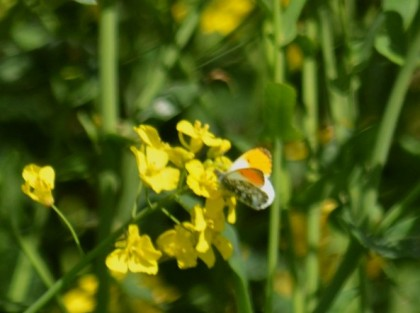 Orange tip on Oilseed rape