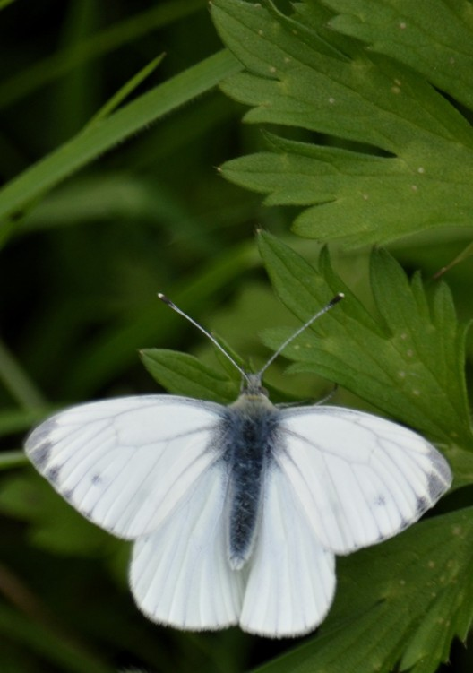 Another white