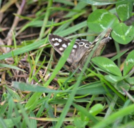 Speckled wood encore
