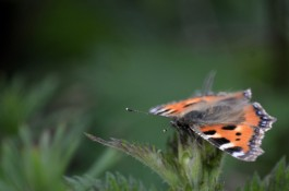 Front on view of a small tortoiseshell