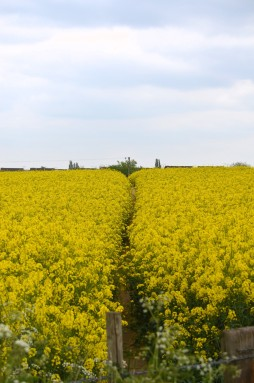 Pathway through Oilseed rape