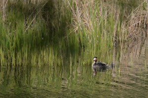 Grebe - three kids in tow
