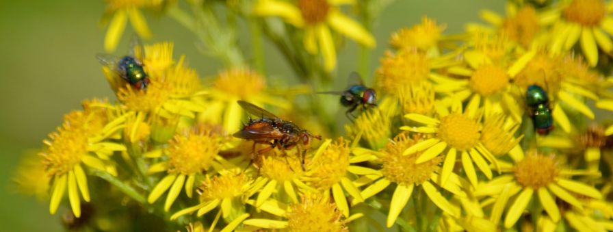 Flies on ragwort