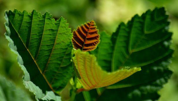 New leaf on mini alder tree