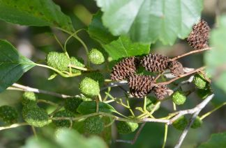 Two years alder seed cones