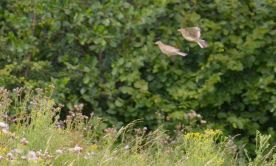 Two captures of the same skylark 'shopped together