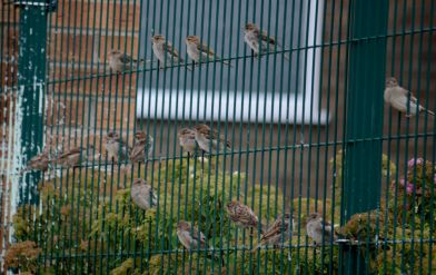 A fenceful of sparrows