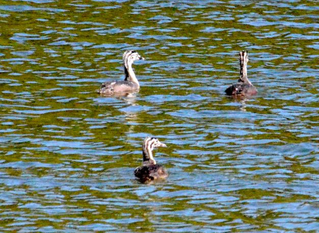 Three young grebes