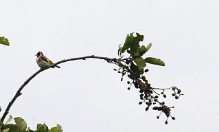 Goldfinch in the treetop