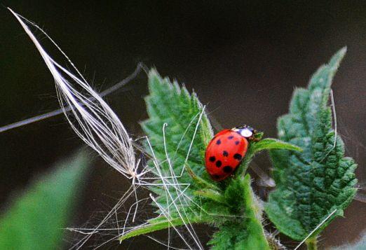 Ladybird on nettle