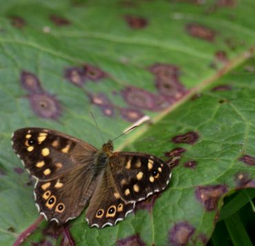 Speckled wood on dock