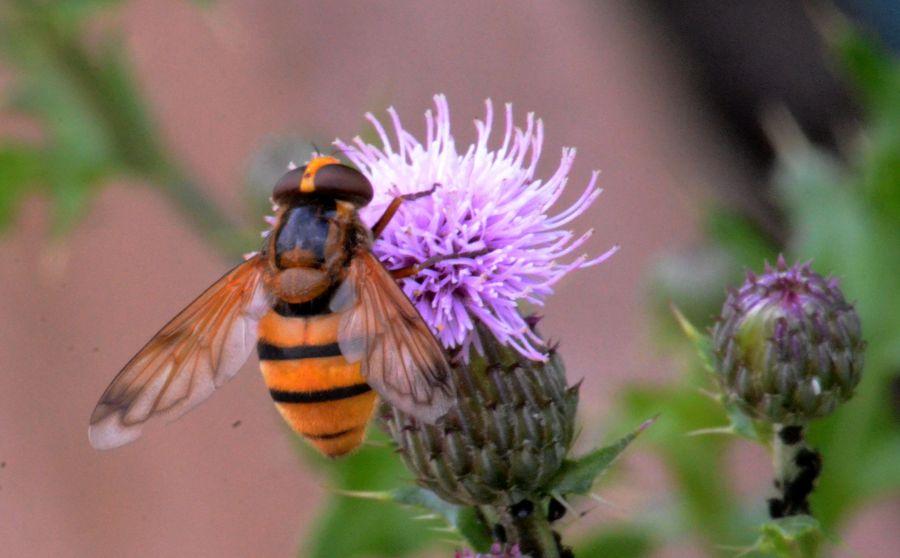 DSC_2320Thistle meeet Wasp