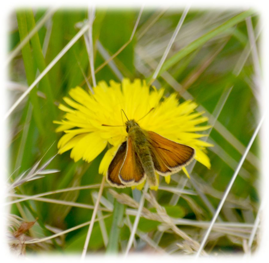 DSC_4509Male small skipper