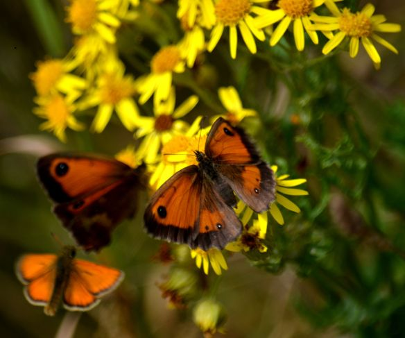 DSC_4830Ragwort is popular with gatekeepers and a skipper