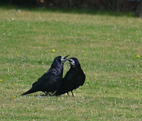 Rooks in the heat
