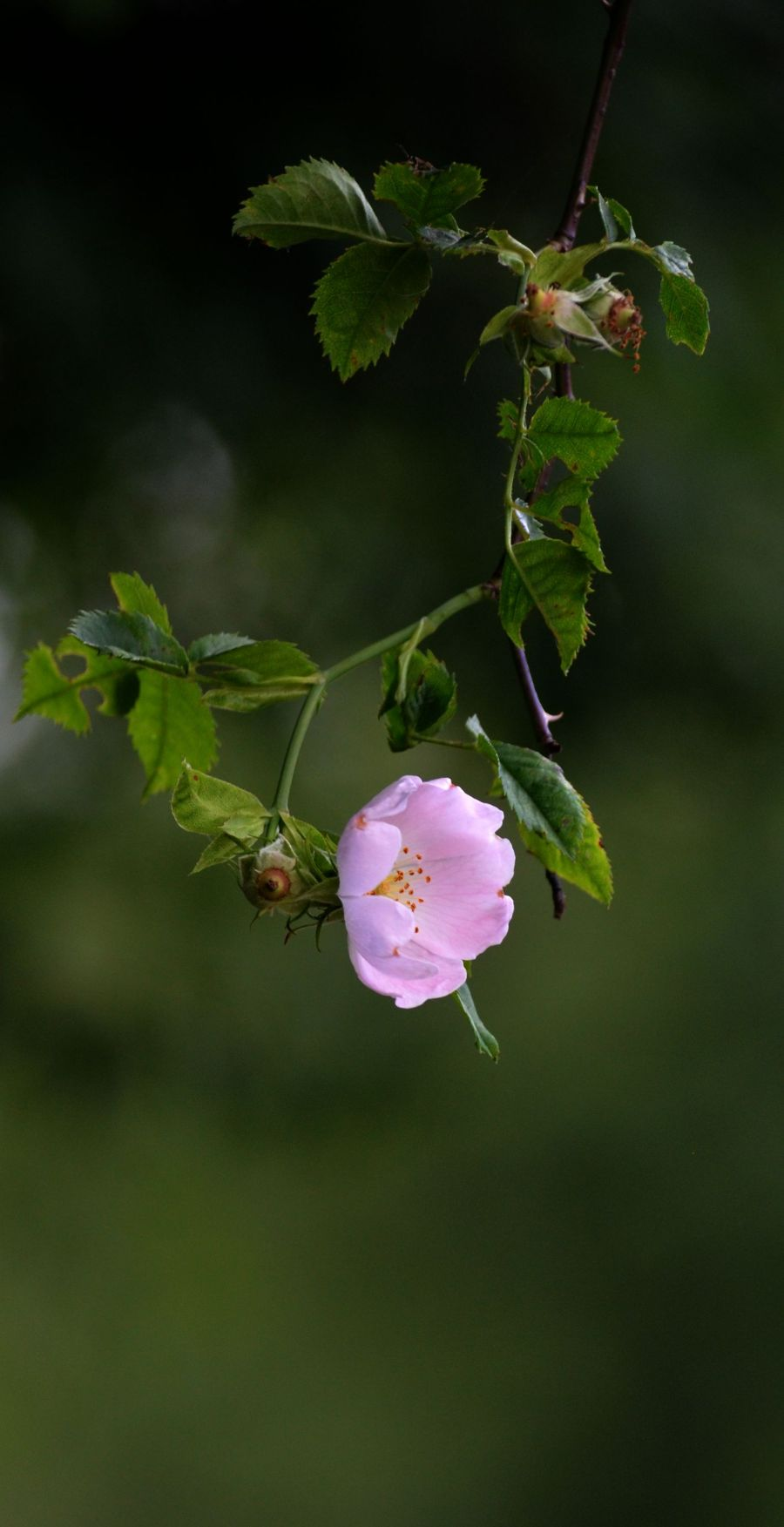 Dog rose overhanging the towpath