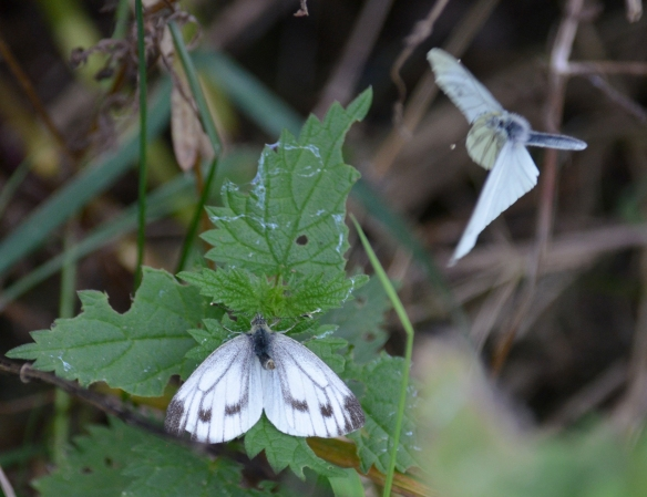 Whites courting