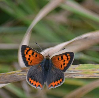 Small copper - not many about