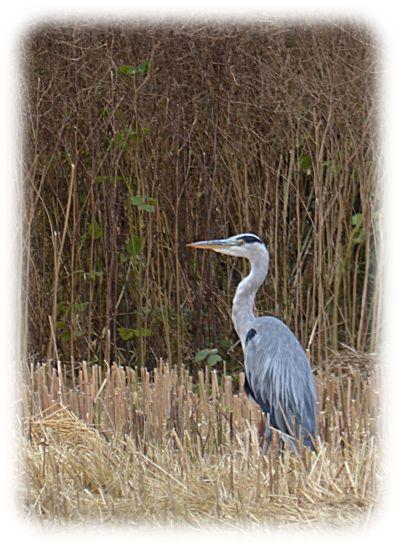 Grey heron on old rape field