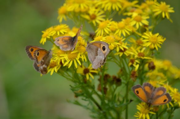 DSC_9892Gatekeepers on ragwort