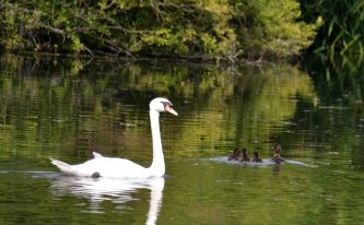 Swan and tufted ducks on Lady Lee