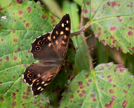Speckled wood on Speckled leaf