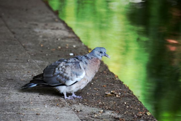 Pigeon under Tylden Road bridge