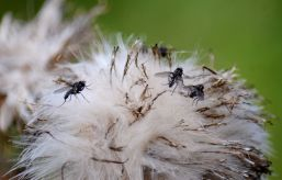 Load of flies on a thistle seed head