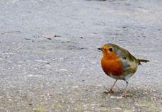 Morse Lock's robin