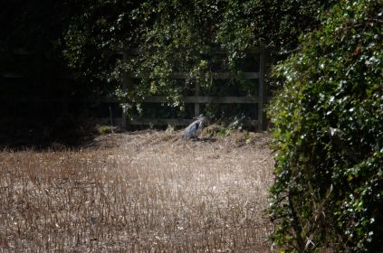 Heron on the rape field