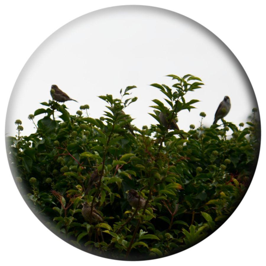 DSC_5944Seven Sparrows