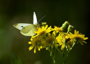 Small white on ragwort