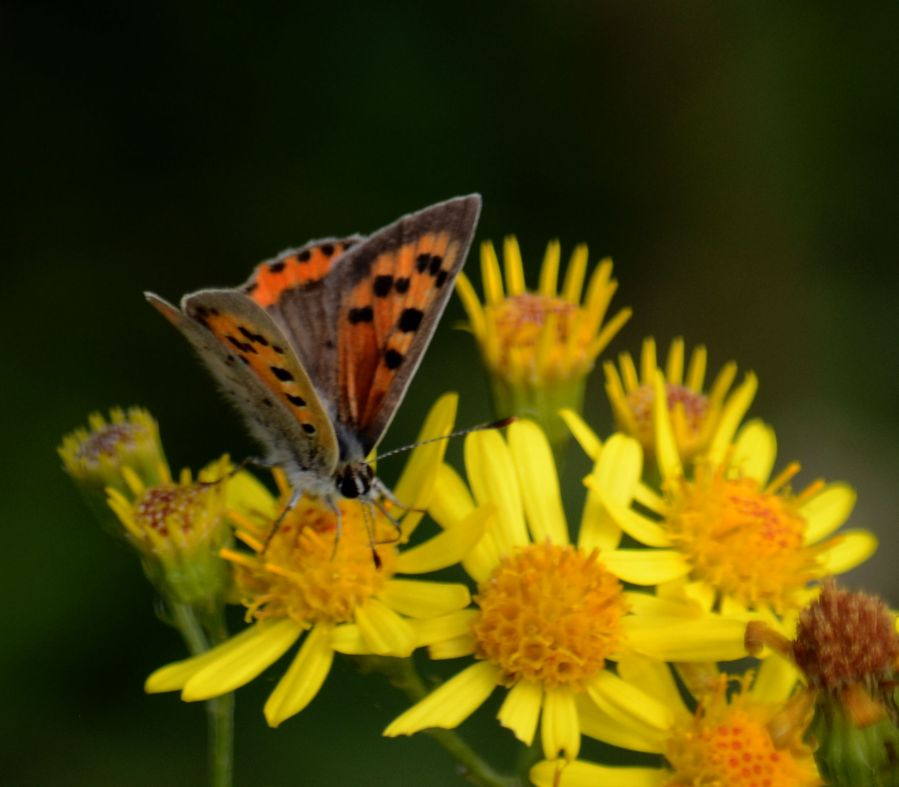 DSC_6140Small copper on ragwort
