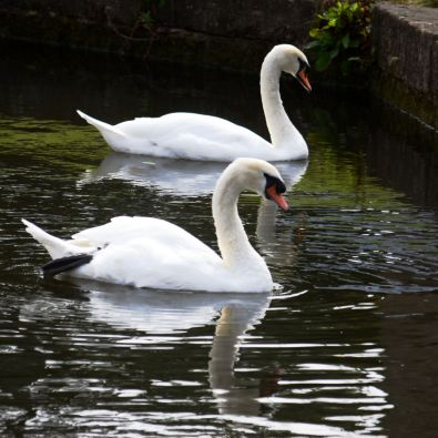 Turnerwood swan