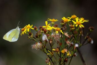 Large white on ragwort