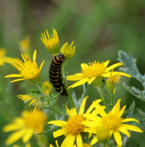 Cinnabar moth caterpillar on ragwort