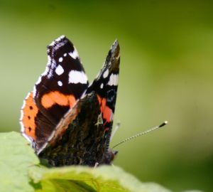 ... rear view of a red admiral.