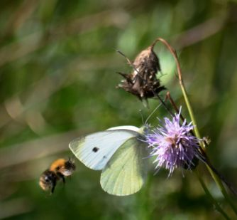 Butterfly and bee in competition