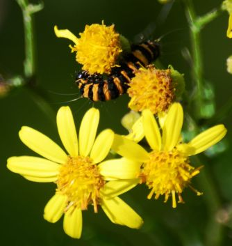 Cinnabar caterpillar on ragwort