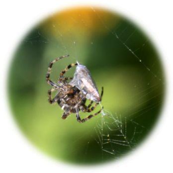 ungiffed spider :-)