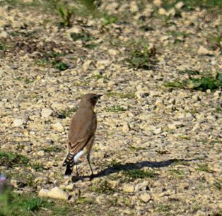 wheatear (again)