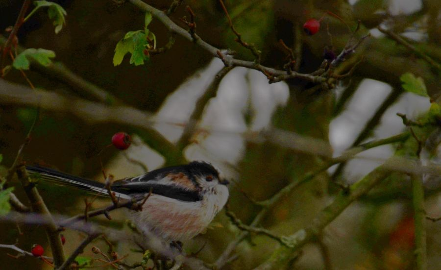 Cutest beasts around: a long tailed tit