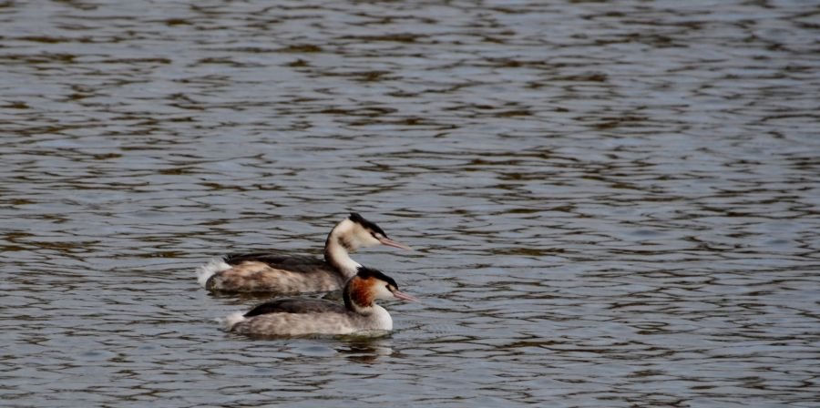 The pond's resident grebe pair